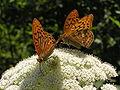 Бабочка на ЮБК 5.jpg
