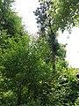 Біота східна.jpg