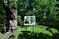 Дуб Шевченка DSC 0992.jpg