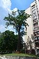 Дуб Якуніна DSC 0439.jpg