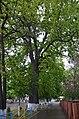 Дуб черешчатий по вулиці Л. Українки, 29.jpg