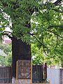 М, Тернопіль, вул. Живова, 1. Тернопільський дуб біля Кооперативного торговельно-економічного коледжу.jpg