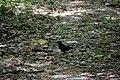 Пуща-Водиця Дрізд чорний DSC 0855.jpg