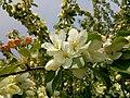Яблоня маньчжурская (1).jpg