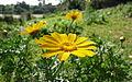 פרחים בישראל (101).JPG