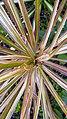برگ و ساقه گیاه عنکبوتی 08-Chlorophytum comosum,.jpg