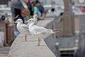 رفتار مرغان دریایی نوروزی یا یاعو در کشور عمان، شهر مسقط، ساحل دریای عمان - عکس مصطفی معراجی 19.jpg