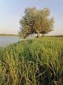 شجرة الصفصاف على ضفاف نهر دجلة.jpg