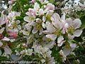 شکوفه های بهاری شهر خامنه - panoramio (2).jpg