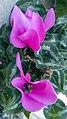 نگون ساز ایرانی-Cyclamen persicum 02.jpg