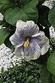 ชบา Hibiscus rosa-sinensis L. Photographs by Peak Hora (16).jpg