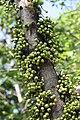 มะเดื่ออุทุมพร Ficus racemosa L (13).jpg