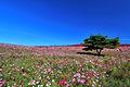 ひたち海浜公園 - panoramio (156).jpg