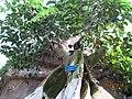 南山植物园-温室-大青树 - panoramio.jpg