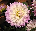 大麗花-睡蓮型 Dahlia Waterlily -香港花展 Hong Kong Flower Show- (39218558830).jpg