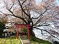 稲荷神社の山桜「稲荷桜」 下市町才谷 Inari-zakura, A wild cherry tree near by Inari-jinja 2011.4.21 - panoramio.jpg