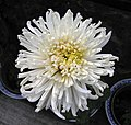 菊花-白毛刺 Chrysanthemum morifolium 'White Hairy Thorns' -香港雲泉仙館 Ping Che, Hong Kong- (12010294494).jpg