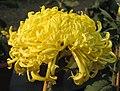 菊花-黃河九曲 Chrysanthemum morifolium 'Yellow River Nine Bends' -中山小欖菊花會 Xiaolan Chrysanthemum Show, China- (12129743616).jpg