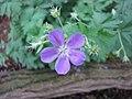 銀葉老鸛草 Geranium sylvaticum Birch Lilac -比利時 Leuven Botanical Garden, Belgium- (9198166867).jpg