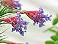 鐵蘭屬 Tillandsia aeranthos -香港花展 Hong Kong Flower Show- (9200880428).jpg