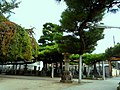 黒松 - panoramio.jpg