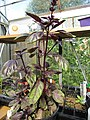 -2019-08-02 Purple Basil (Ocimum basilicum) Trimingham, Norfolk (1).JPG