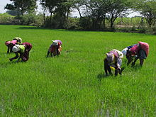 Agricultural workers in paddy field