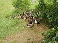 06659jfCandaba Pampanga Fields Duck Farming Bahay Pare Dulong Ilog Bulacanfvf 10.JPG
