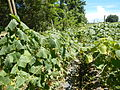 0885jfSan Ildefonso Remedios Plants Royal Skies Roadsfvf 05.JPG