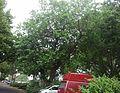 14 06 28-Maulbeerbaum MA-P-von-Maruba.jpg