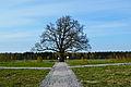 184-летний дуб.jpg