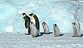 2007 Snow-Hill-Island Luyten-De-Hauwere-Emperor-Penguin-84.jpg