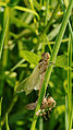 2012-06-14 15-01-56-anisoptera.jpg