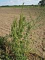 20120902Amaranthus retroflexus3.jpg