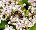 2014-06-26 12-56-59 abeille.jpg