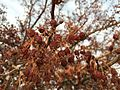 2015-01-30 07 33 53 Fruit on a crabapple at the intersection of Idaho Street (Interstate 80 Business) and Manzanita Drive in Elko, Nevada.JPG