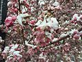 2015-04-08 07 43 26 A wet spring snow on Crabapple blossoms along Commercial Street in Elko, Nevada.jpg