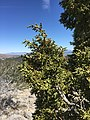 2015-04-28 13 18 18 Utah Juniper foliage on the south wall of Maverick Canyon, Nevada.jpg