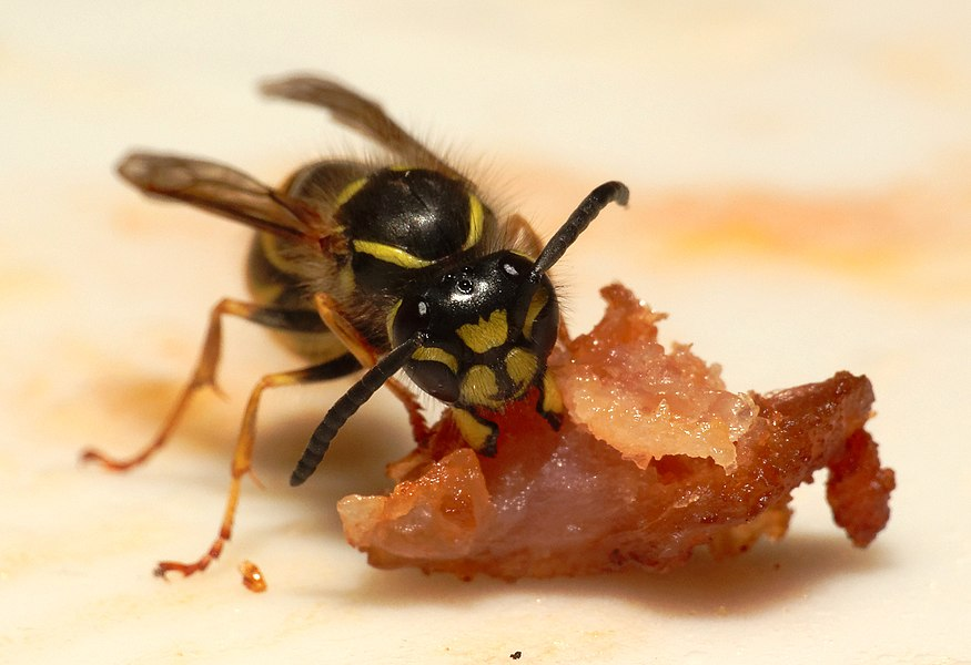 This file was uploaded  with Commonist.    Guêpe commune (Vespula vulgaris).  Image prise avec la bonnette Raynox DCR-250.