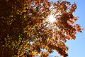 2016-10 Maple tree autumn Quebec.jpg