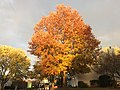 2017-11-19 16 27 29 A Pin Oak in late autumn along Stone Heather Drive near Kinross Circle in the Chantilly Highlands section of Oak Hill, Fairfax County, Virginia.jpg