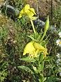 20170828Oenothera biennis1.jpg