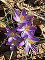 2019-03-11 15 19 49 Naturalized purple crocuses in a lawn along Terrace Boulevard near Dunmore Avenue in the Parkway Village section of Ewing, Mercer County, New Jersey.jpg