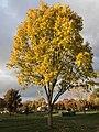 2019-11-12 16 17 36 A Sawtooth Oak during late autumn along a walking path in the Franklin Farm section of Oak Hill, Fairfax County, Virginia.jpg