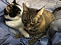 2020-03-22 09 10 16 A Tabby cat and a Calico cat cuddling on a bed in the Franklin Farm section of Oak Hill, Fairfax County, Virginia.jpg