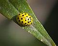 22-spot ladybird (44840909111).jpg