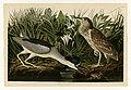 236 Night Heron or Qua bird.jpg