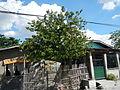 3621jfAnnona muricata Soursop Guyabano Philippines Pampangafvf 06.JPG