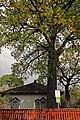400-х летний дуб с.Вольное Черниговская обл..jpg