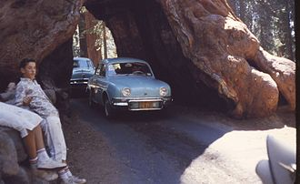 Wawona Tree - Wawona Tunnel Tree, August 1962